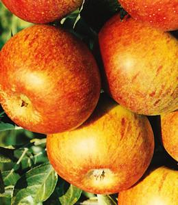 Cox Orange Renette