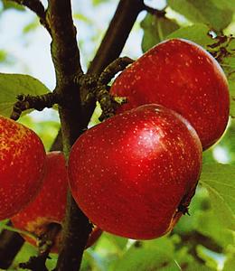 Zigeunerapfel