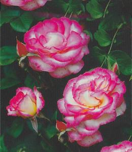Rosen - Schlingrosen - Schlingrose rot-weiß