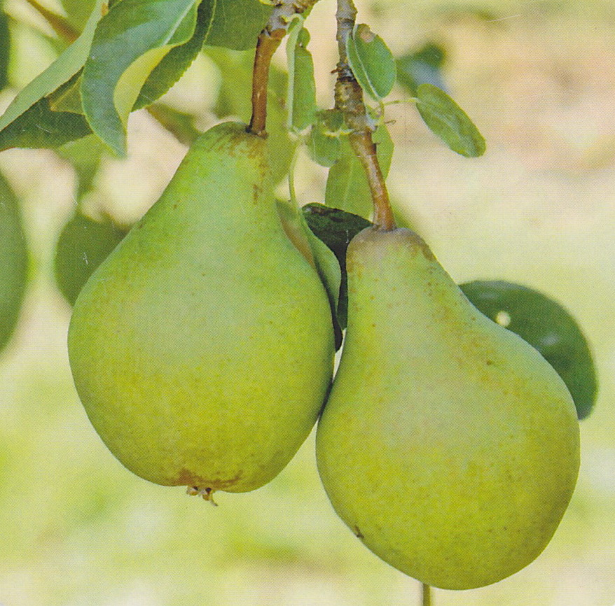 Obstbäume - Birnen - Condora - Säulenbirne