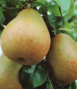 Obstbäume - Birnen - Gellerts Butterbirne