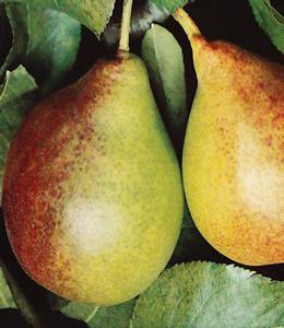 Obstbäume - Birnen - Gute Luise Birne