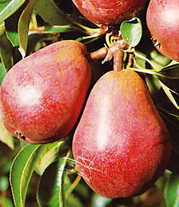 Obstbäume - Birnen - Rote Williams Christbirne