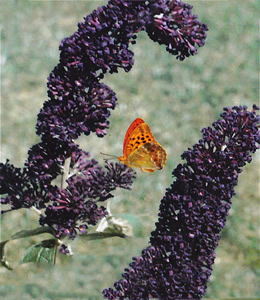 Buddleja Black Knight