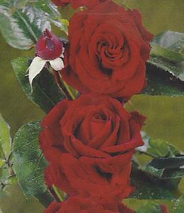 Rosen - Edelrosen - Rote Rosen