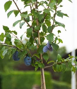 Zwetschke Familienobstbaum