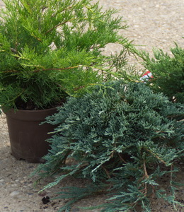 Koniferen Juniperus - Kriechwacholder