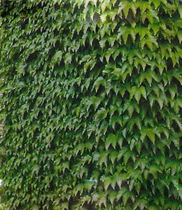 Schlingpflanzen - Mauerkatze Veitchii