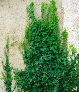Schlingpflanzen - Efeu Hedera Helix