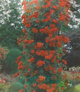 Rosen - Schlingrosen - rot