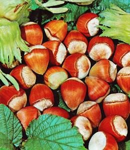 Heckenpflanzen - Haselnüsse