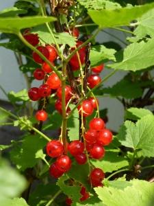 Gartentipps für Juli - Beeren aus dem eigenen Garten