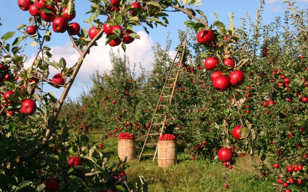 Der Apfel - unser Lieblingsobst