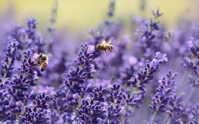 Lavendel – Arzneipflanze des Jahres 2020