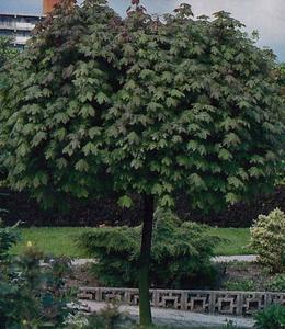 Acer Plat. Globosum – Kugelahorn
