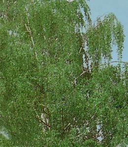 Betula Pendula – Weiss – Sandbirke