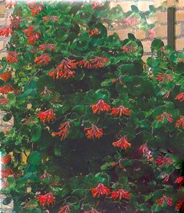 Schlingpflanzen - SäulenkirscheLonicera Dropmore Scarlet – rot
