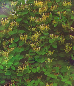 Lonicera Caprifolia – gelb