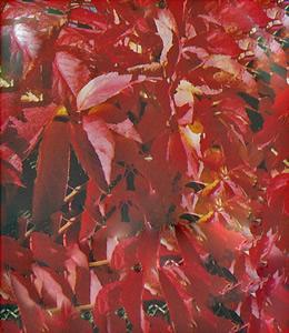 Parthenocissus Quinquifolia – Wilder Wein