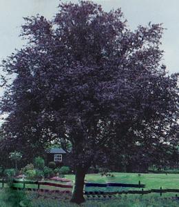 Prunus Cer. Nigra – Blutpflaume