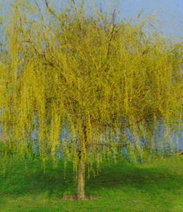 Salix Alba Tristis – Trauerweide