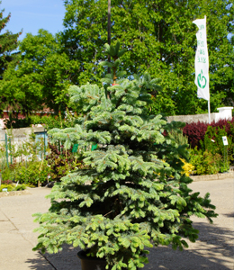 Picea Pung. Glauca – Blaufichtensämling