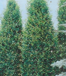 Carpinus Betulus Fastigiata – Säulenhainbuche