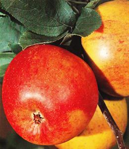 goldparmaene herbstapfel