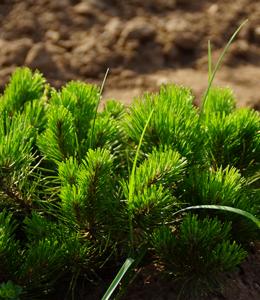 Pinus Mugo Mughus – Latsche
