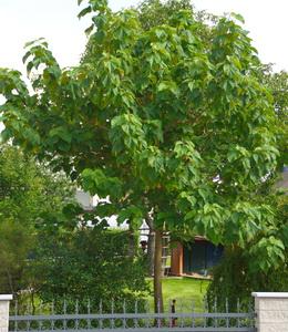 Paulownia Tomentosa – Blauglockenbaum