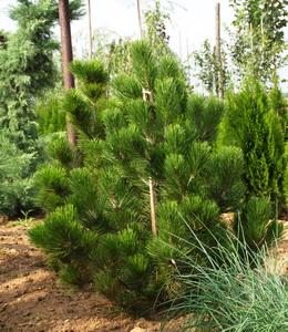 Pinus Leucodermis – Schlangenhautkiefer
