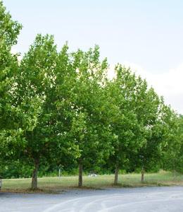 Platanus Acerifolia – Platane