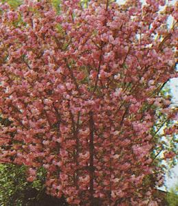 Prunus serrulata Kanzan – Zierkirsche