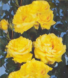 Beetrose gelb – Freesia