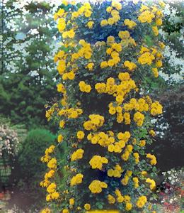 Gelbe Schlingrose