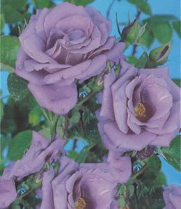 Blaue Rose - Mainzer Fastnacht
