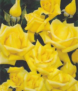 Goldgelb Rosa Hybrid