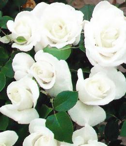 Weiße Edelrose