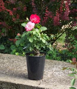 Rosen mehrfaerbig