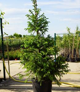 Picea Omorica – Serbische Fichte