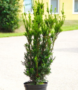 Taxus Media Hicksii – Heckeneibe