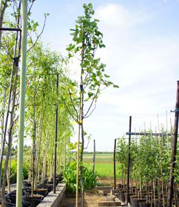 Liriodendron Tulpifera – Tulpenbaum