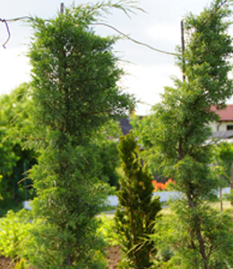 Juniperus Chin. Hezii – Wacholder – aufgebunden