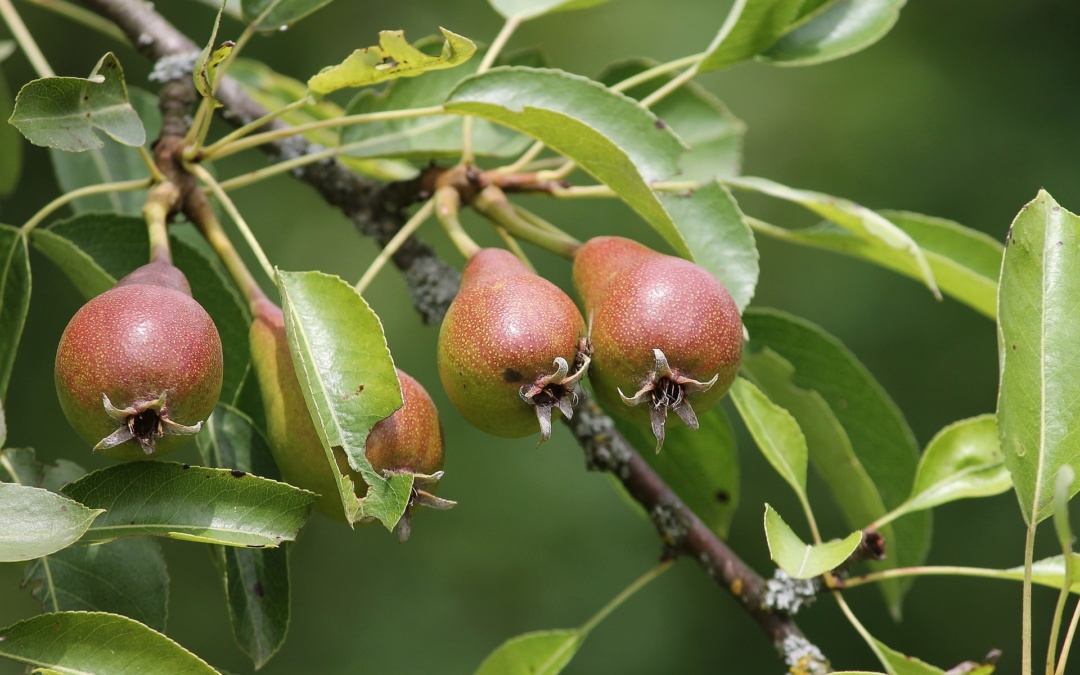 Warum verliert unser Apfel- oder Birnbaum so viele Früchte?