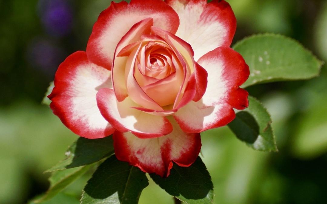 Die Rose – die Königin der Blumen